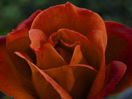 """Hot Cocoa Rose - Chocolate Blooms, Sweet Fragrance - 4"""" Pot"""