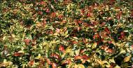 """Summer Sunset Cascading Jasmine - Trachelospermum asiaticum - 6"""" Hanging Basket"""