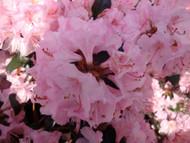 "Bubblegum Rhododendron - Bubblegum Pink Blooms - 2.5"" Pot"