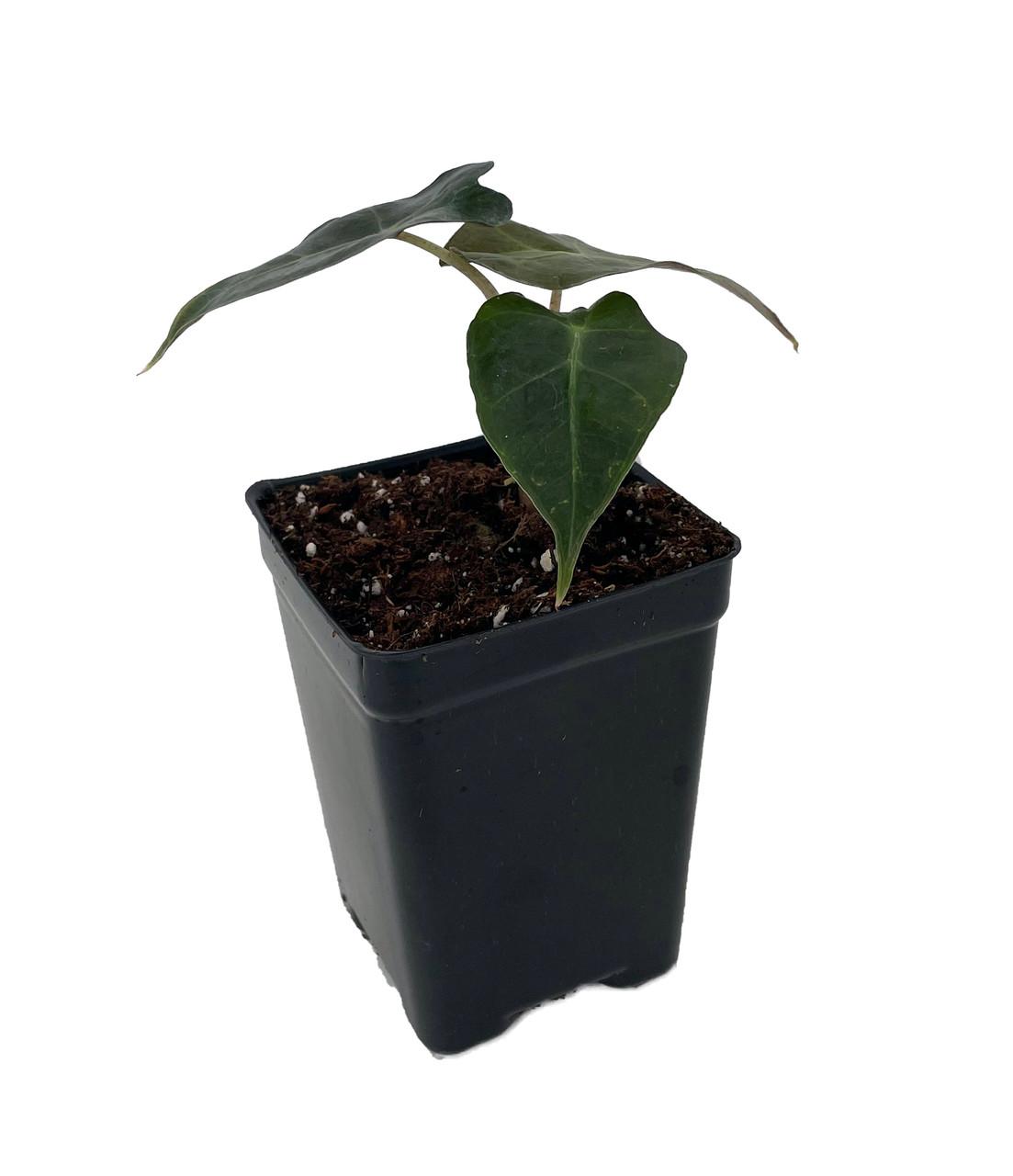 Bambino Shield Plant - Alocasia Dwarf - Houseplant - 2.5