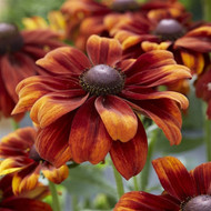 "Glowing SmileyZ™ PPAF Black Eyed Susan - 4"" pot - Rudbeckia hirta"