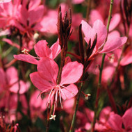 "Gaura Belleza™ Dark Pink PPAF - live plant - 4"" pot"