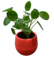 "Chinese Money Plant - Pilea peperomioides in 3"" Red Self Watering Plant Pod"