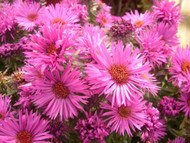 Vibrant Dome Fall Blooming Perennial Aster - Hardy - Gallon Pot