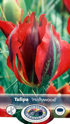 Hollywood Viridiflora Tulip 8 Bulbs - 12/+ cm Bulbs