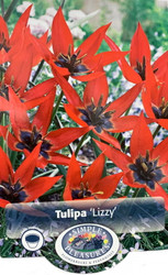 Lizzy Species Tulip - 10 Bulbs - NEW - 6/+cm Bulbs