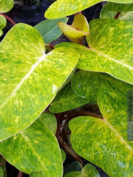 """Rare Painted Lady Philodendron 6"""" Pot - Easy to Grow - Collector's Series"""