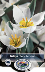 Polychroma Species Tulip - 10 Bulbs - NEW - Pure White - 6/+cm Bulbs