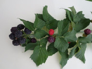 "Ohio Treasure Everbearing Black Raspberry - 4"" Pot - Extremely Hardy/Prolific"