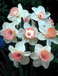 Pink Narcissus Mix 8 Bulbs - Deer Resistant - NEW - 14/16 cm Bulbs