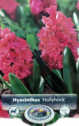 Double Hollyhock Hyacinth 3 Bulbs - Heirloom - 15/16 cm Bulbs