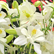 Dove Songbird Columbine - Aquilegia - Quart Pot