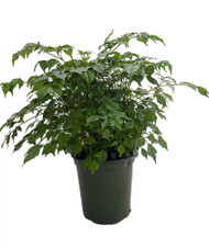 "China Doll Plant - Radermachera sinica - Easy House Plant - 4"" Pot"