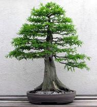 """Bald Cypress Bonsai Tree - Great for a Beginner - 4"""" Pot"""