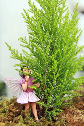 "Lemon Scented Cypress - Indoors/Out/Fairy Garden - 2.5"" Pot"