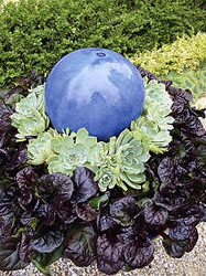 "Black Scallop Bugleweed - Ajuga - NEW! - Darkest Form - 48 Plants - 1 3/4"" Pots"