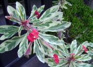 """Joseph's Coat Crown of Thorns Plant - Euphorbia - 4"""" Pot"""