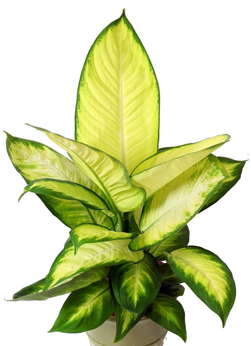 Tropic Marianne ffenbachia Plant - Exotic & Easy to Grow - 6