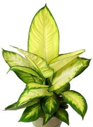 "Tropic Marianne Dieffenbachia Plant - Exotic & Easy to Grow - 6"" Pot"