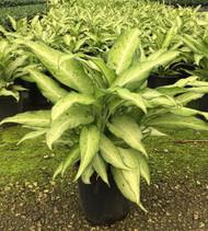 """Camouflage Dieffenbachia Plant - Exotic & Easy to Grow - 8"""" Pot"""