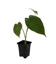 "Calidora Plant - Alocasia Dwarf - Houseplant - 4"" Pot"