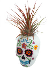 "Fancy White Sugar Skull Planter with Live Tillandsia Air Plant - 3"" x 3"""