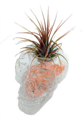 "Clear Sugar Skull Planter + Live Tillandsia Air Plant - 3""x3"" - White/Orange"