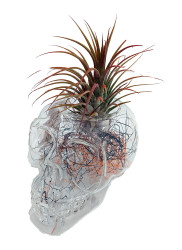 "Clear Sugar Skull Planter + Live Tillandsia Air Plant - 3""x3"" - Black/Orange"