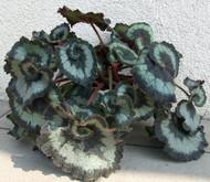 "Escargot Rex Begonia Plant - 2.5"" Pot - Great Houseplant"