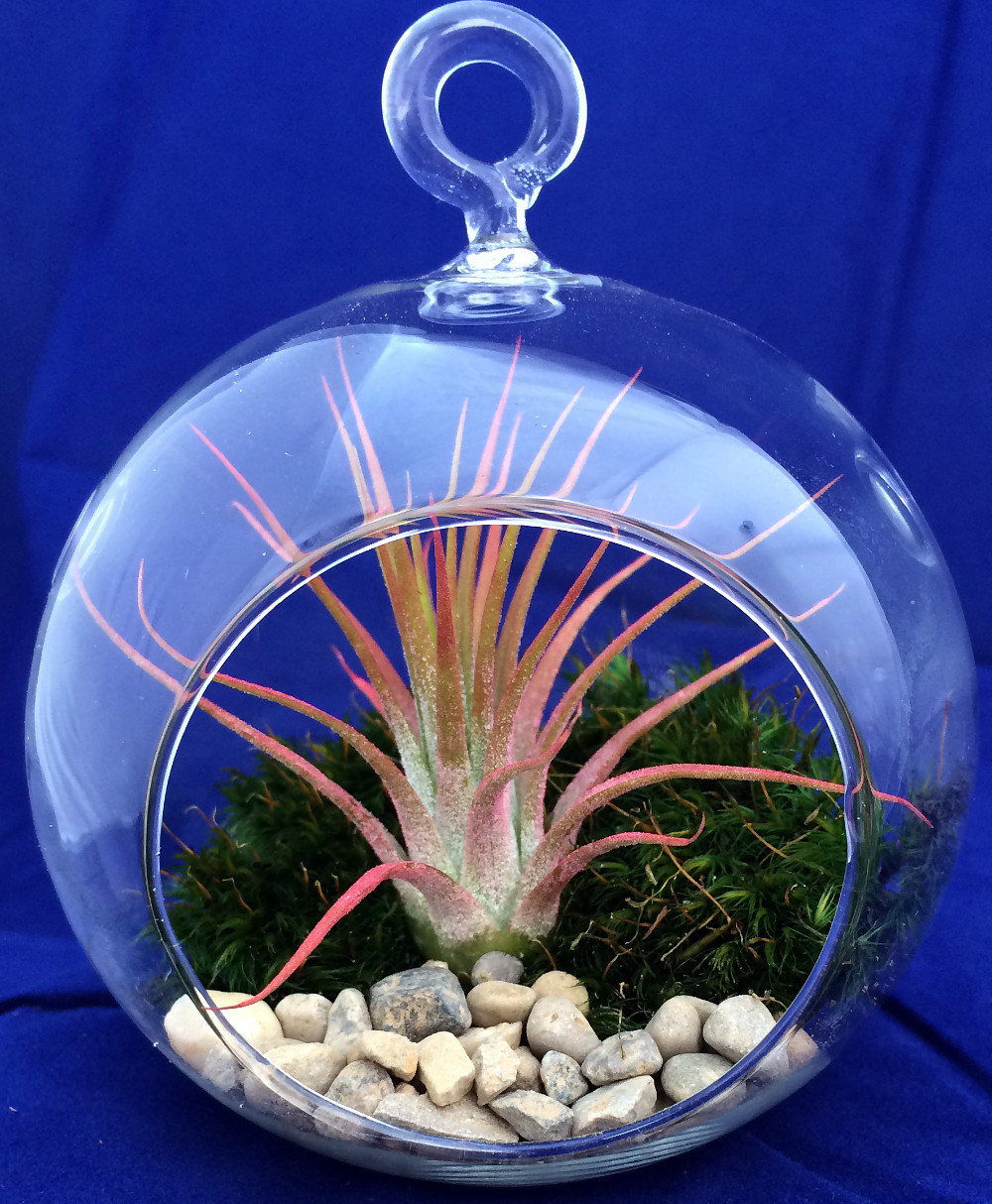 Air Plant Tillandsia Terrarium Kit Pebbles Mood Moss 4 Glass