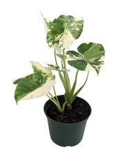 """Rare Creme n' Green African Mask Elephant Ear Plant-Alocasia-Indoors/Out-10"""" Pot"""