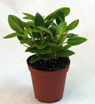 """Hirt's Baby Rubber Plant - Peperomia - 3.5"""" Pot - Easy to Grow Houseplant"""
