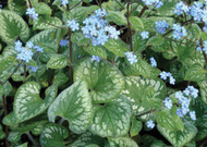 Emerald Mist Bugloss - Brunnera - Shade Perennial - Gallon Pot