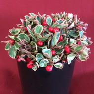 Winter Splash Wintergreen Plant - Gaultheria -Teaberry - Indoors/Out - Qrt Pot
