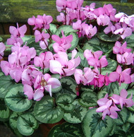 Hardy Spring Blooming Coum Cyclamen  - Indoors/Out - Qt. Pot - Shade Lover