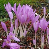 Crocus Lilac Wonder Bulb - Colchicum - Deer Resistant