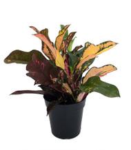 "Wilma Oak Leaf Croton - 6"" Pot - Colorful House Plant - Easy to Grow"