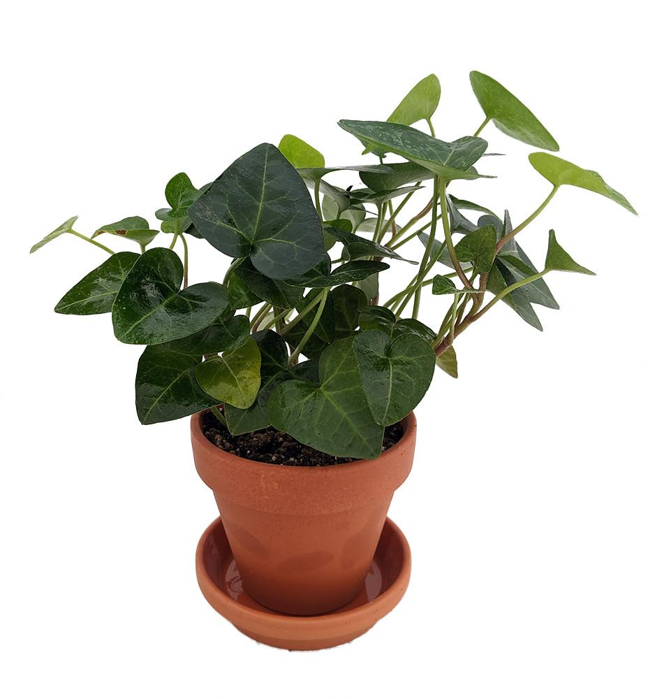 Sweet English Ivy - Hedera - 3