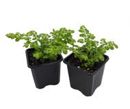 "Artillery Fern - Pilea - Rare/Easy to grow - 3"" Pots 2 Pack"