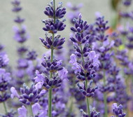 "Lavender Herb - Very Fragrant /Refreshing/Calming - 5"" Pot"