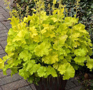 Twist of Lime Coral Bells - Heuchera - Gallon Pot