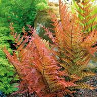 "Brilliance Autumn Fern - Dryopteris erythrosora - 4"" Pot"