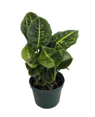 "Reflector Dieffenbachia Plant - Exotic & Easy to Grow - 6"" Pot"