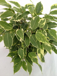 "Starlite Express  Weeping Fig Tree - Ficus benjamina - Easy to Grow - 2.5"" Pot"