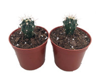 "Blue Barrel Cactus 2 Pack - 2.5"" Pots - Easy to Grow"