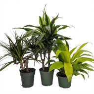 """House of Dragons - Collection of 3 Dragon Trees in 6"""" Pots - Dracaena"""