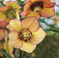 Honeymoon Tropical Sunset Lenten/Christmas Rose - Helleborus - SHADE - Gallon Pot