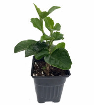 "Jolly Polly Hollywood Hibiscus Plant - 4"" Pot - Indoors or Out"
