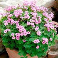 "Pink Pillow Shamrock Plant - Indoors/Out - Oxalis articulata - 2.5"" Pot"