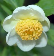 "Green Small Leaf Tea Plant - Camellia sinensis - Brew Your Own Tea - 6"" Pot"